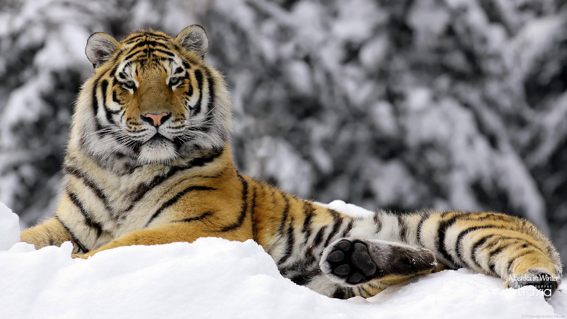 Hình ảnh con hổ đẹp làm hình nền