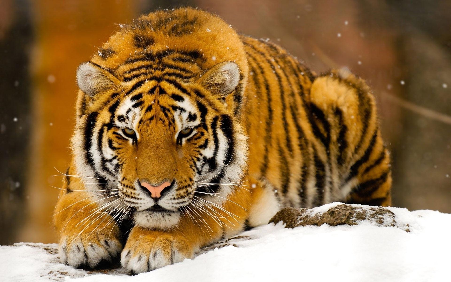 Hình ảnh con hổ