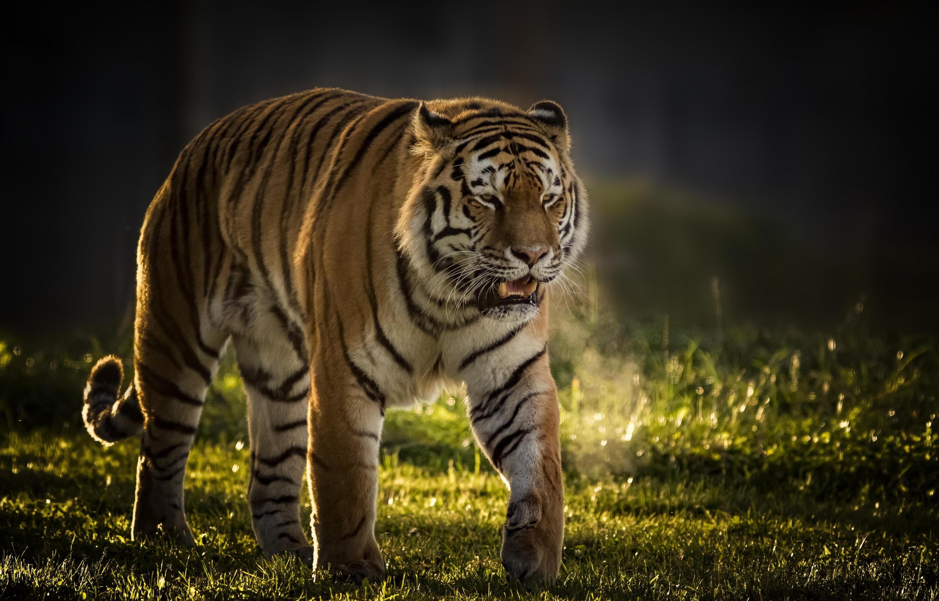 Hình con hổ cực đẹp