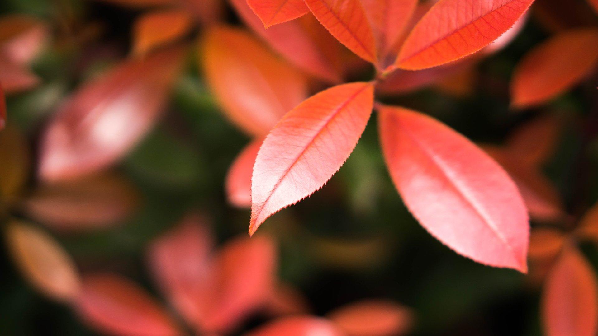 Hình nền cây lá đỏ đẹp