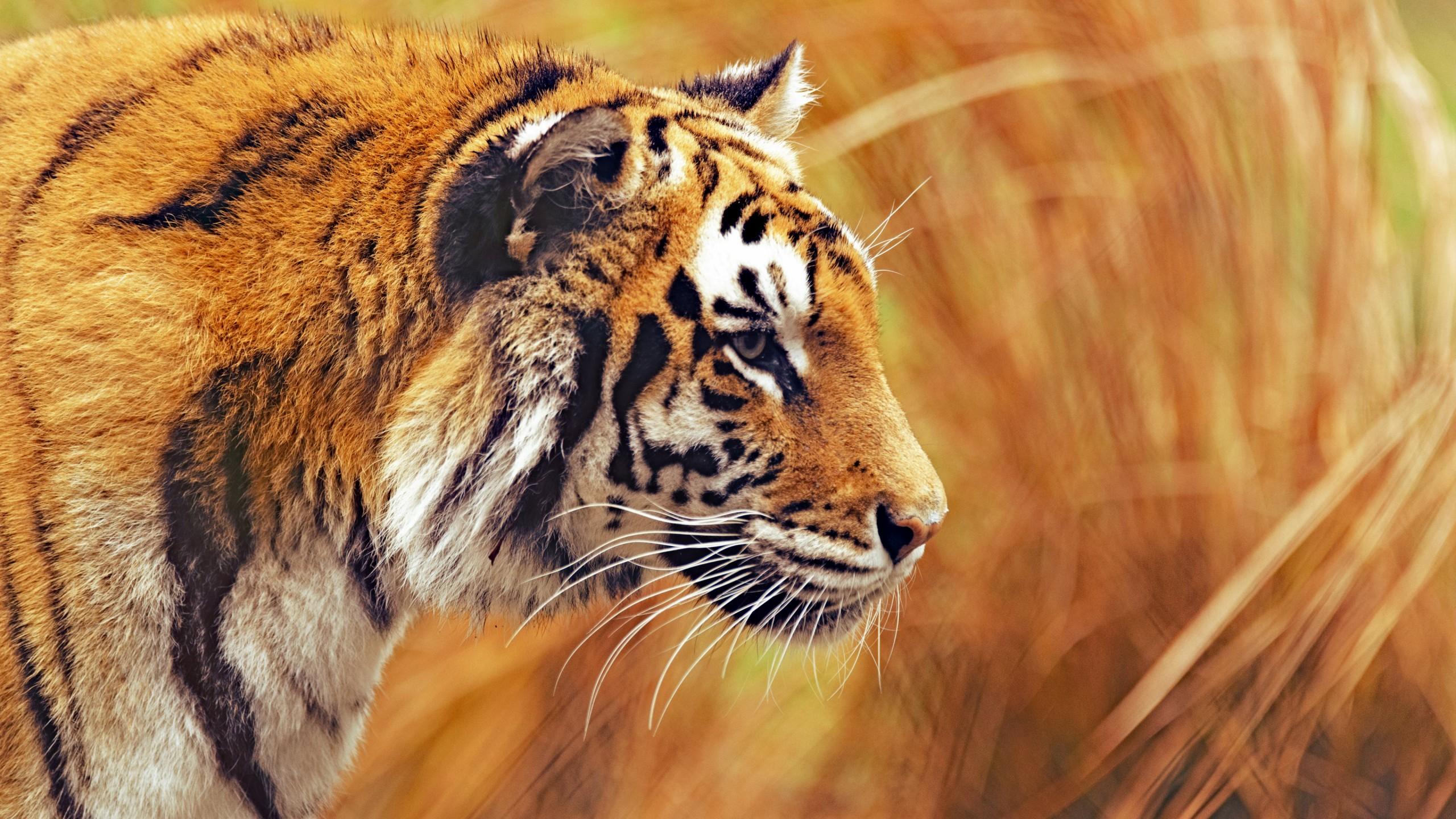 Hình nền con hổ cho máy tính đẹp nhất