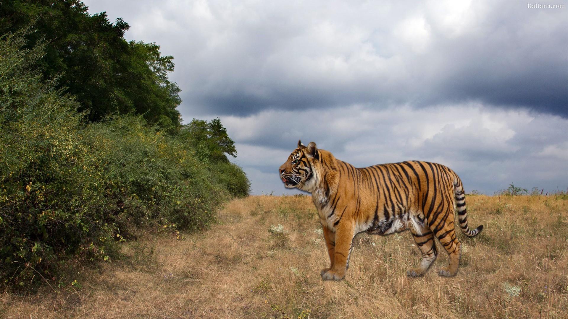 Hình nền con hổ cực đẹp full HD