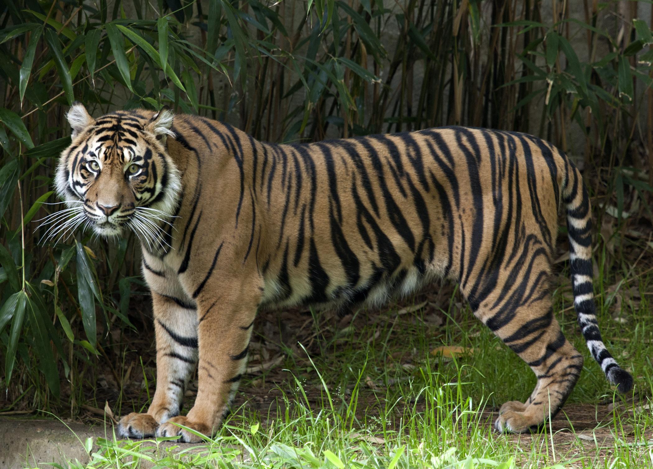 Hình nền con hổ cực đẹp