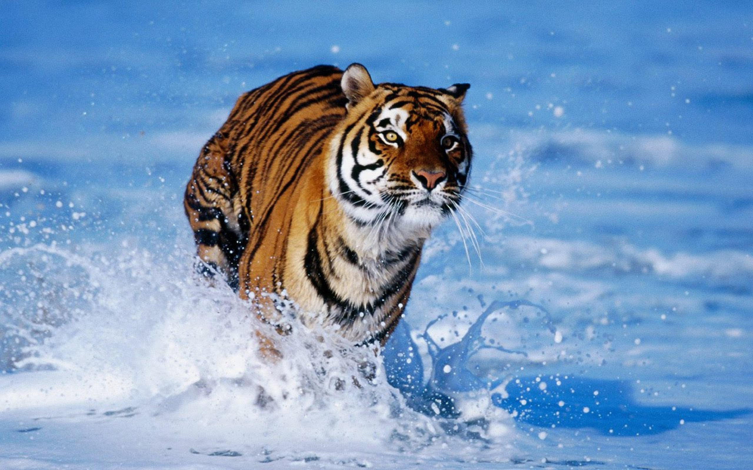 Hình nền con hổ đang chạy cực đẹp