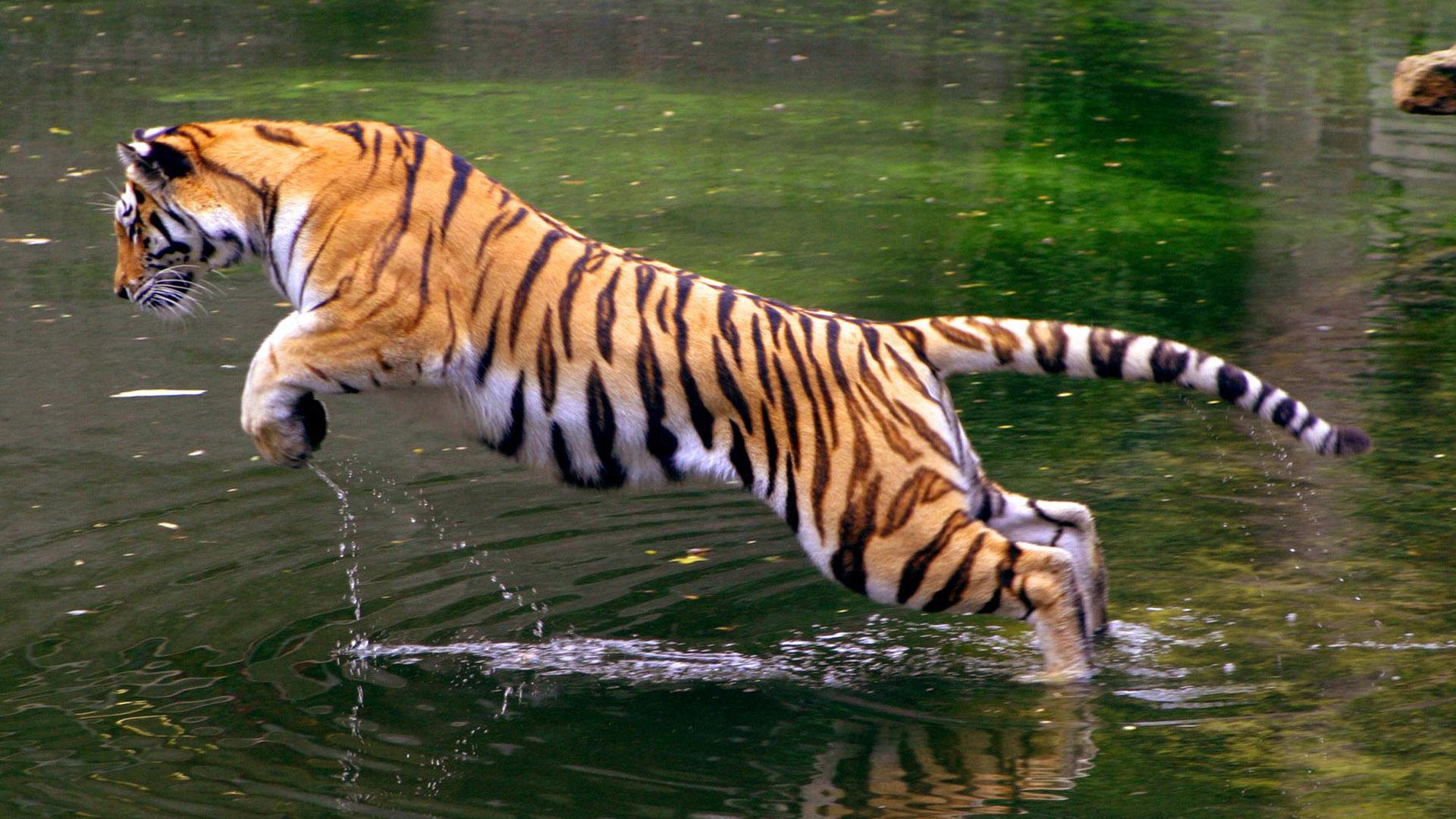 Hình nền con hổ đang nhảy đẹp