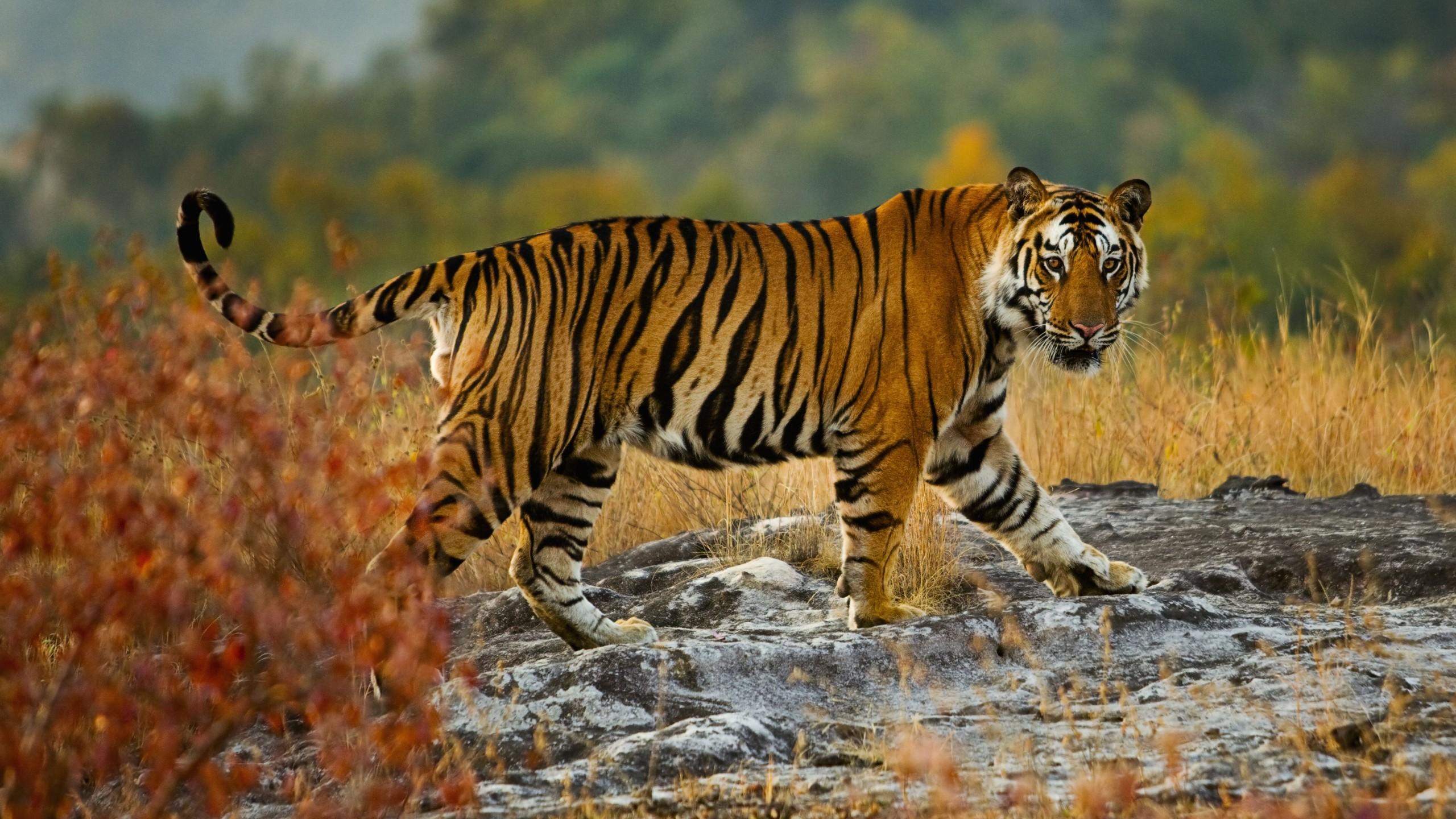 Hình nền con hổ đẹp nhất HD
