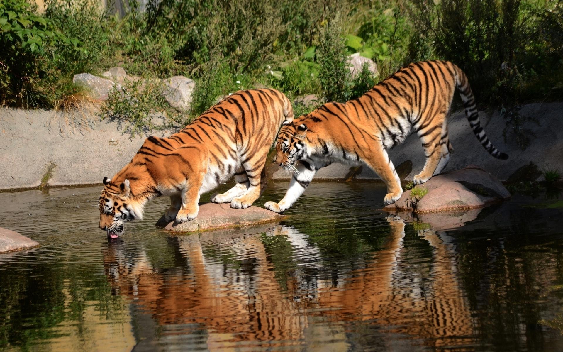 Hình nền con hổ đẹp nhất