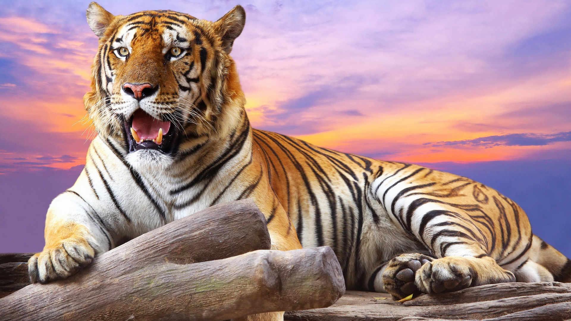 Hình nền con hổ đẹp