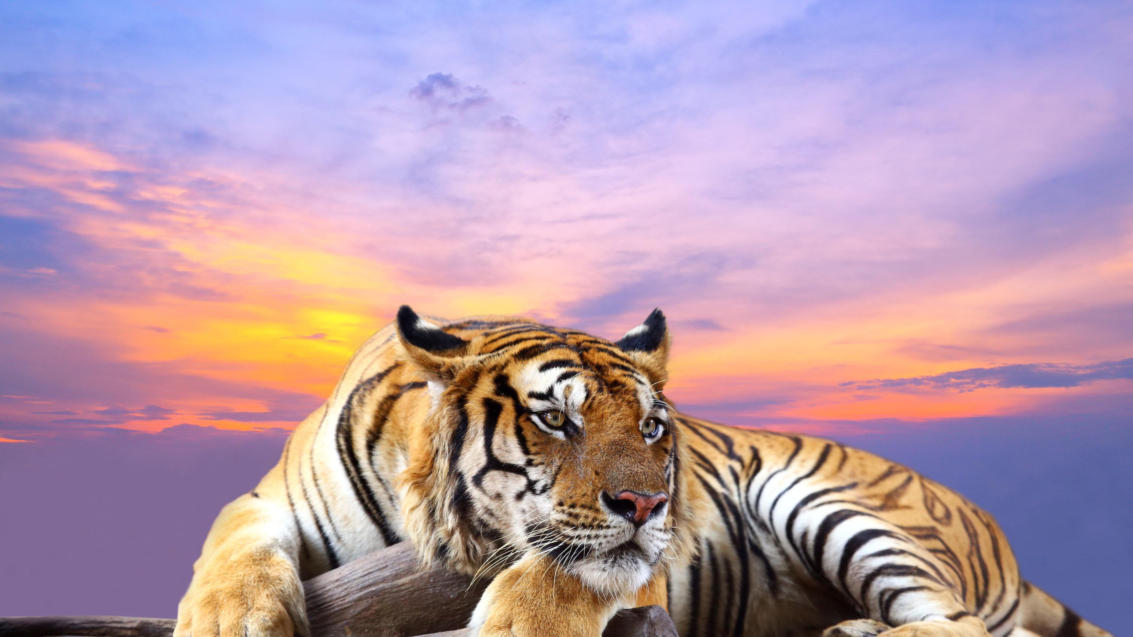 Hình nền con hổ HD