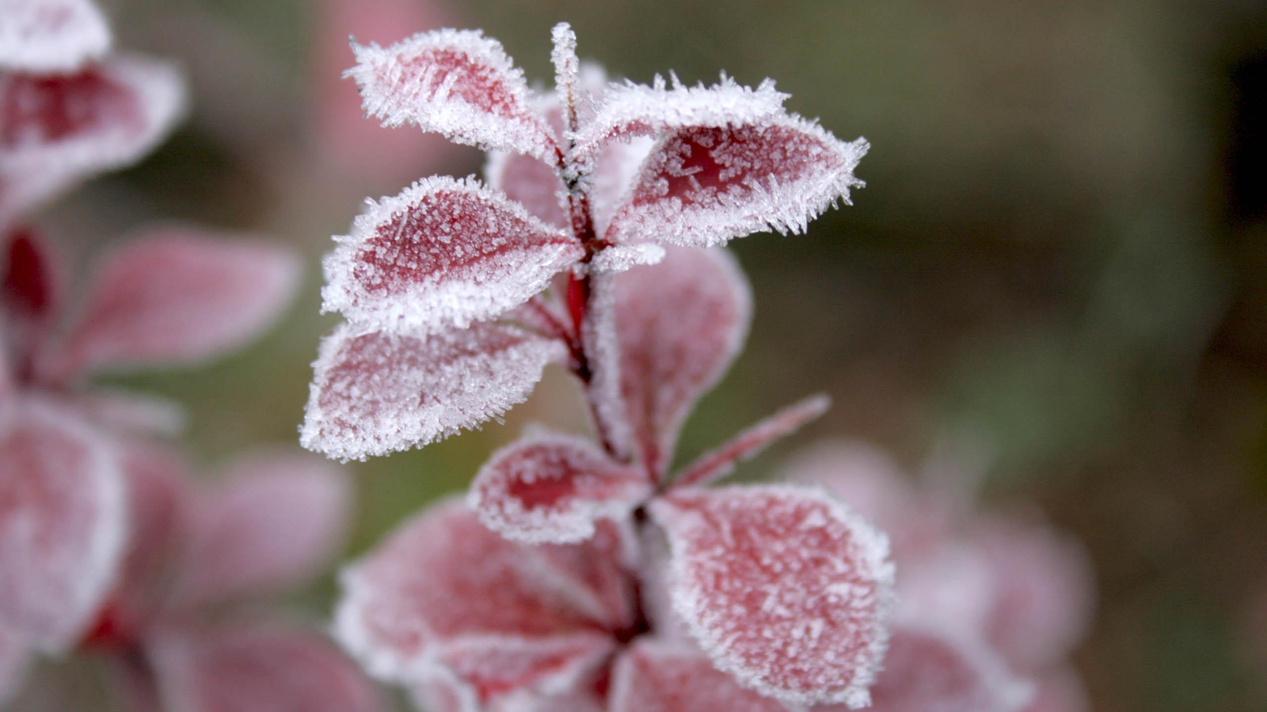 Hình nền lá cây đóng băng