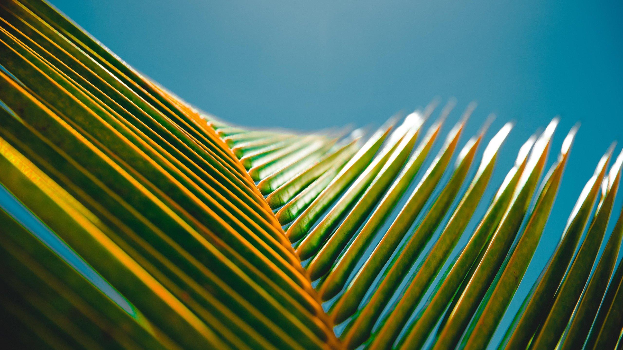 Hình nền lá cây dừa