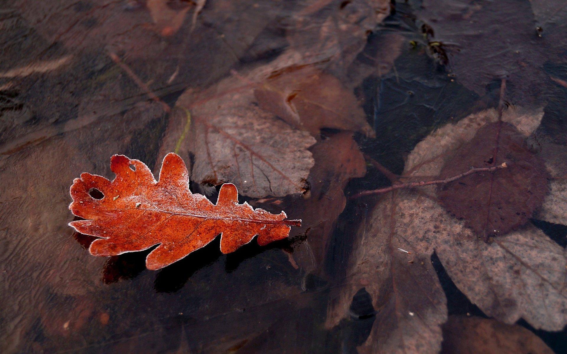 Hình nền lá cây màu đỏ