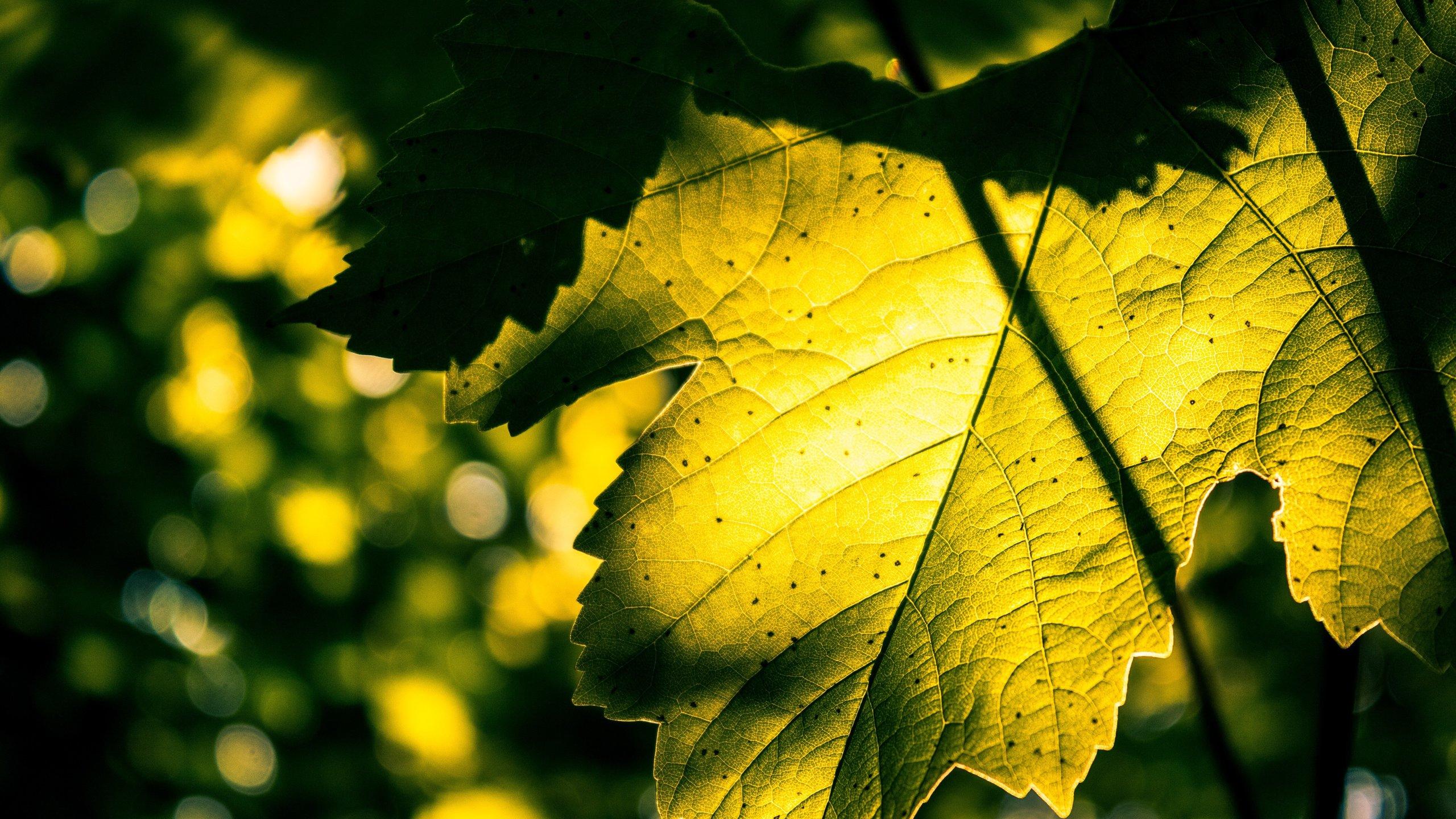 Hình nền lá cây phong đẹp nhất