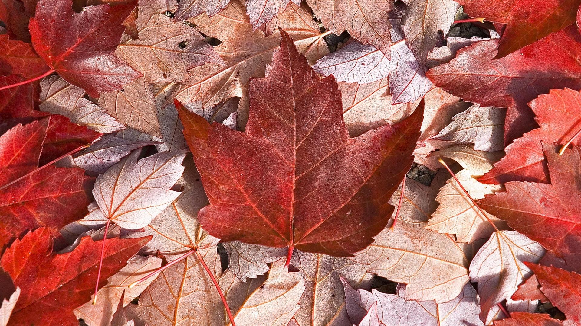 Hình nền lá cây phong màu đỏ đẹp