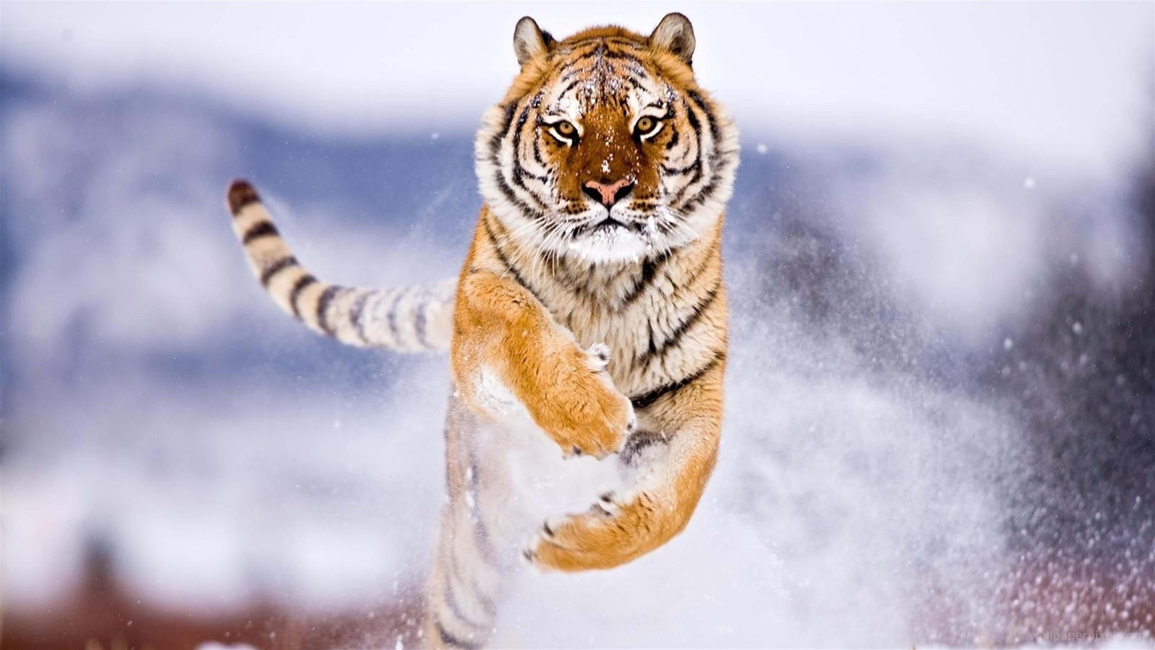 Những hình nền con hổ cực đẹp