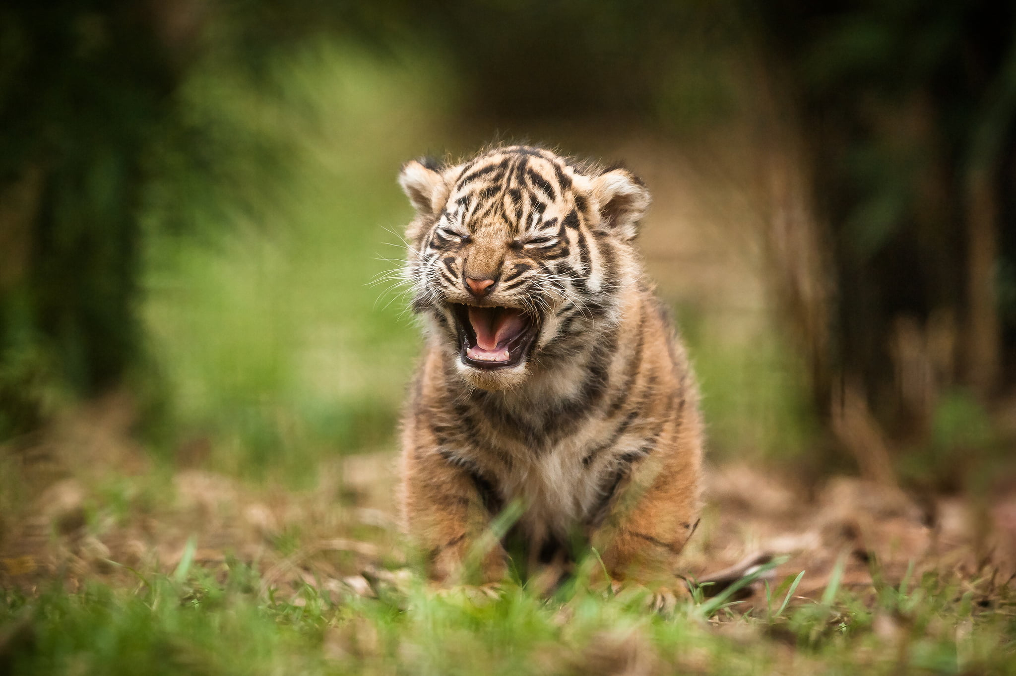 Tiger baby wallpaper