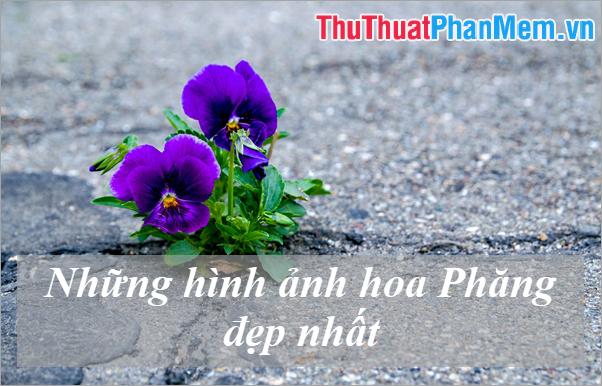 Những hình ảnh hoa Phăng đẹp nhất - Ý nghĩa hoa Păng-Xê