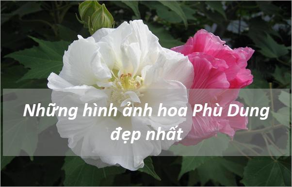 Những hình ảnh hoa Phù Dung đẹp nhất