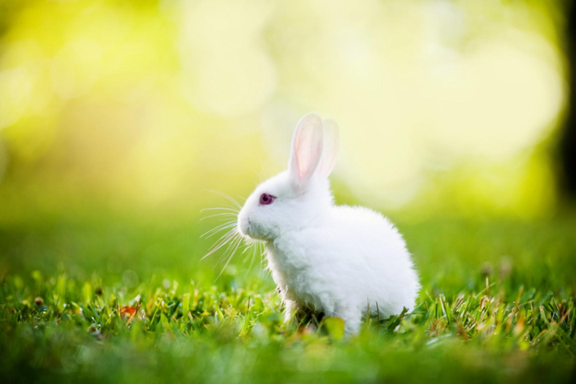 Ảnh con Thỏ trắng đáng yêu
