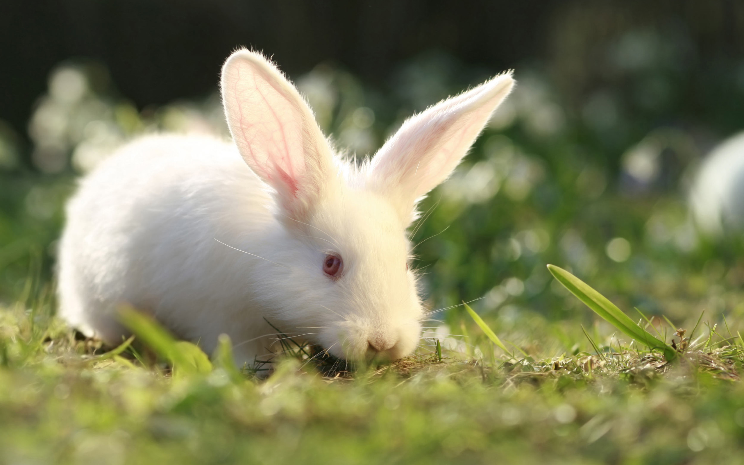 Ảnh con Thỏ trắng dễ thương