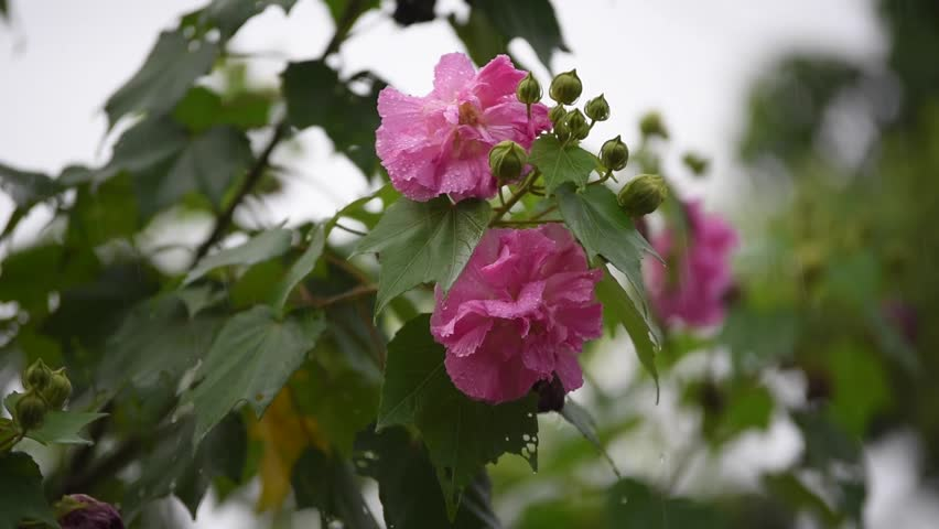 Ảnh đóa hoa Phù Dung đẹp
