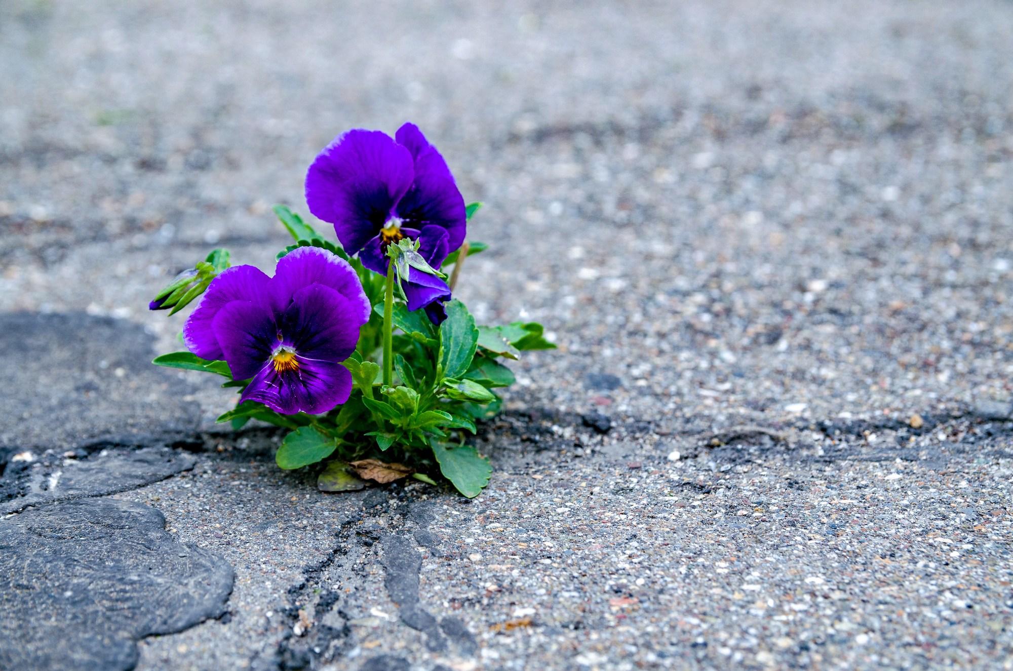 Ảnh hoa Păng xê tím đẹp