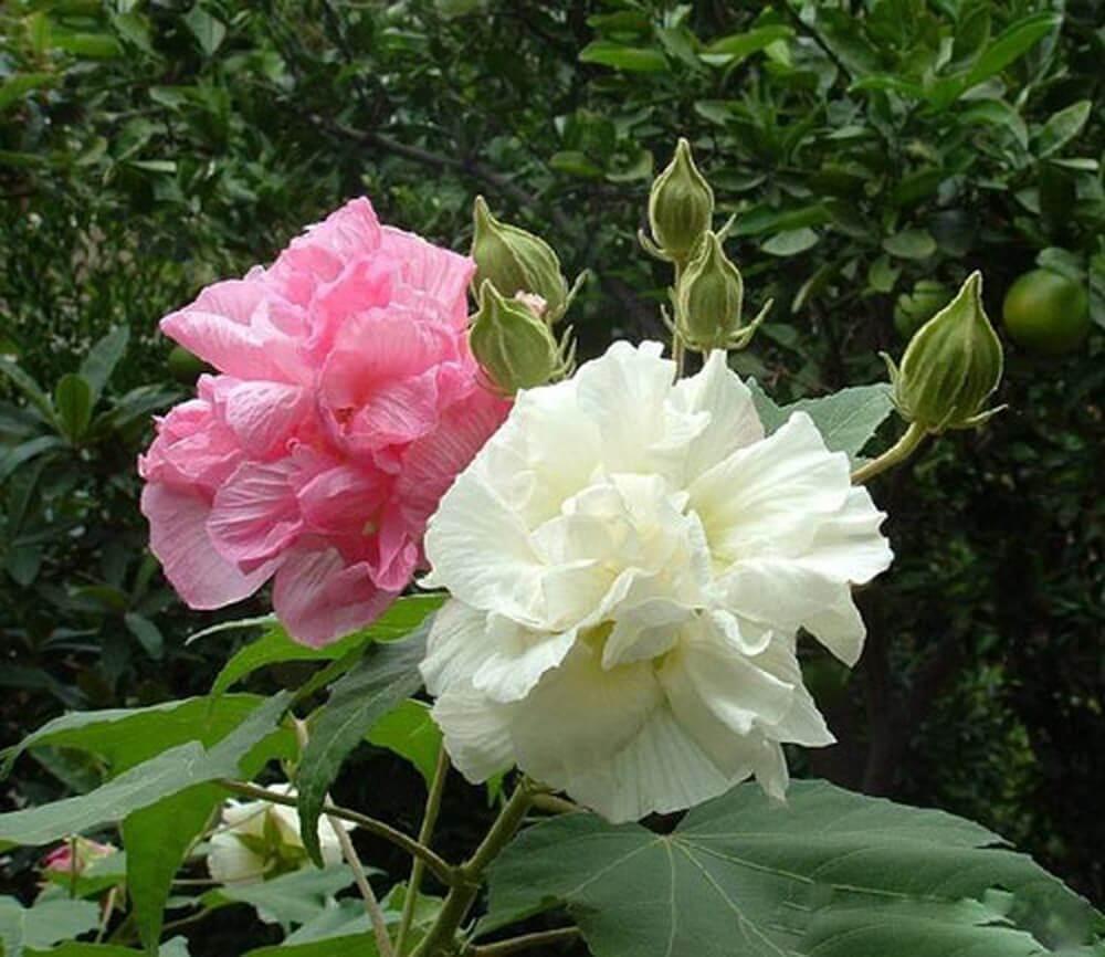 Bông hoa Phù Dung cực đẹp