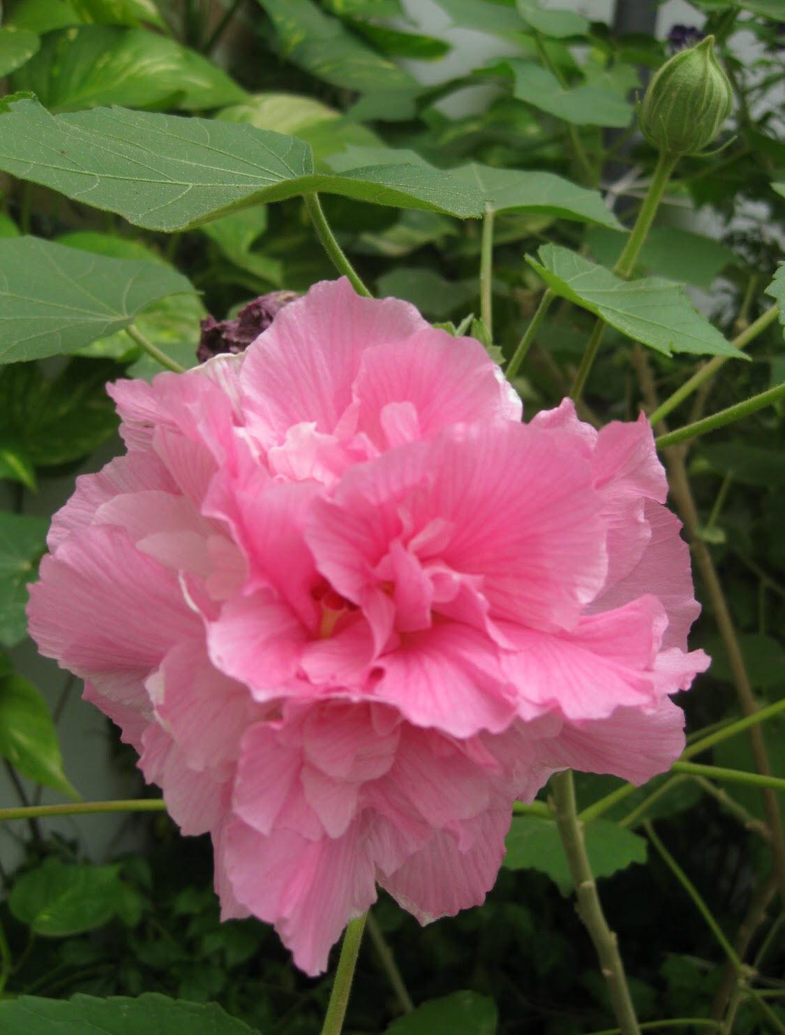 Bông hoa Phù Dung
