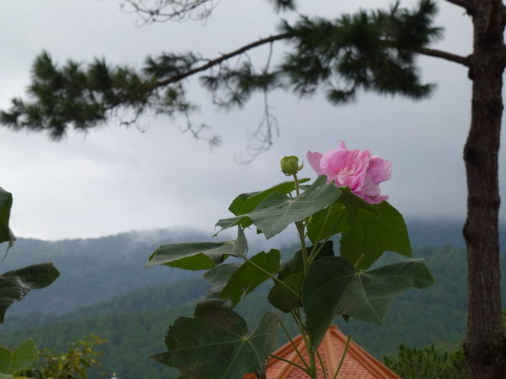 Cành hoa Phù Dung nở đẹp