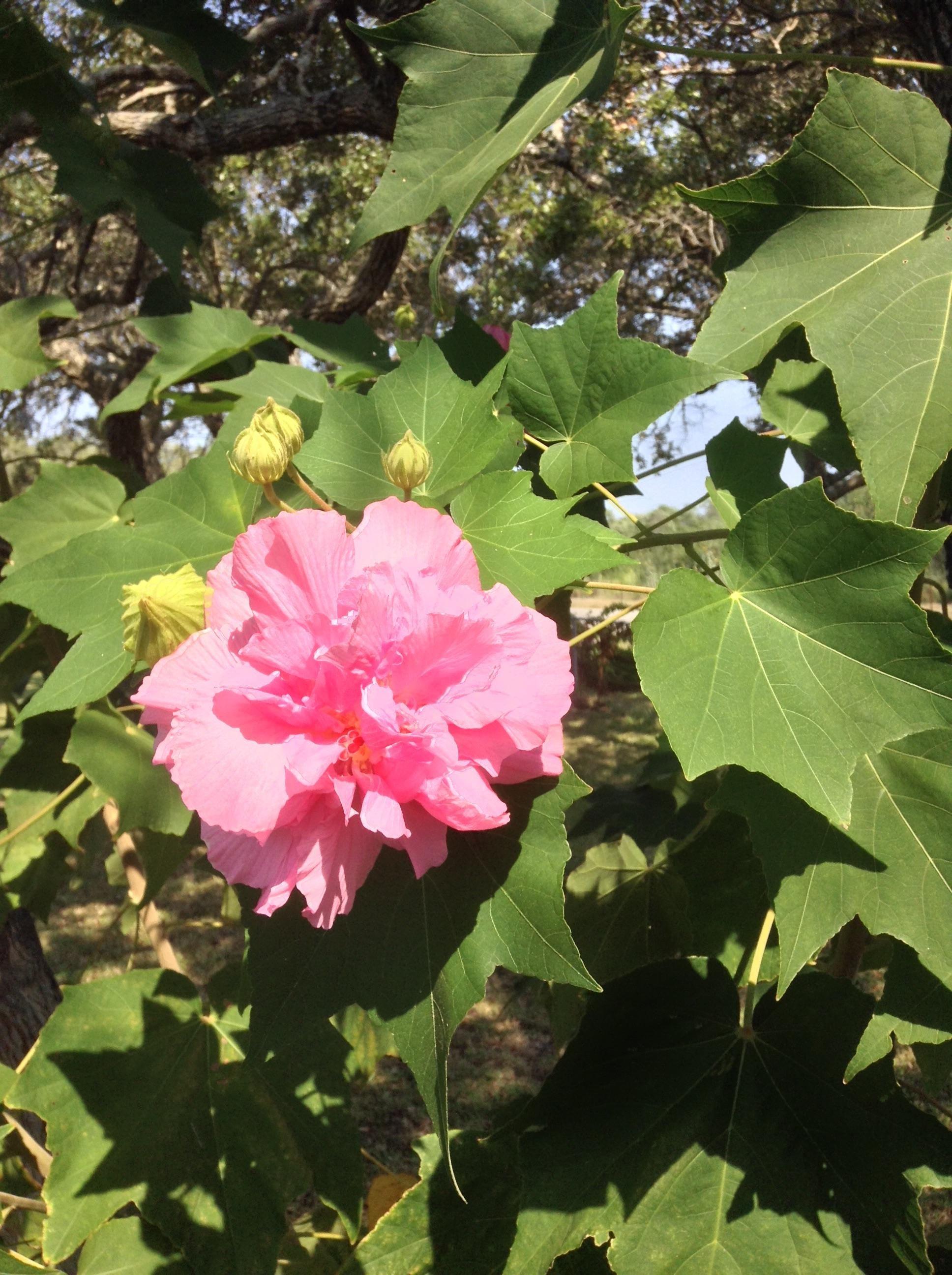 Cành hoa Phù Dung