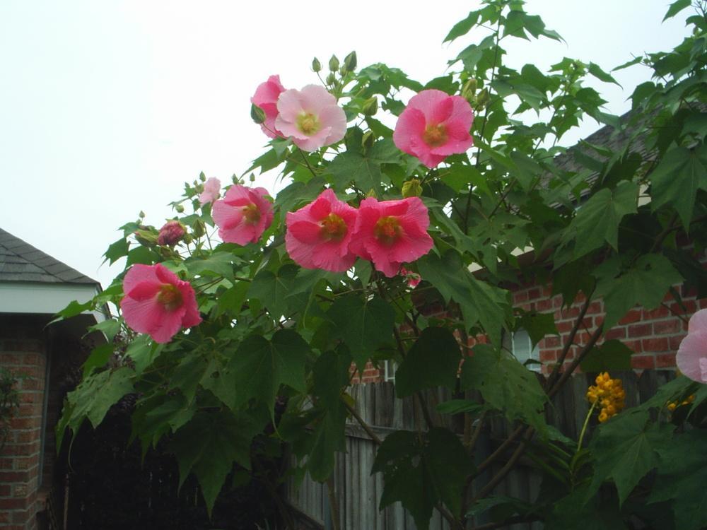 Cây hoa Phù Dung cực đẹp