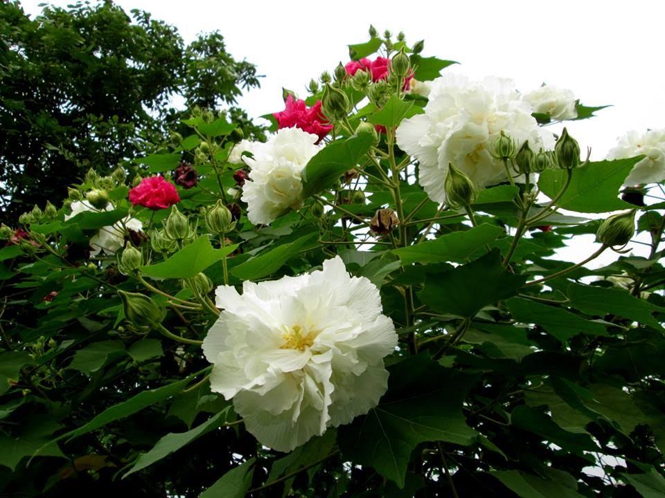 Cây hoa Phù Dung đẹp
