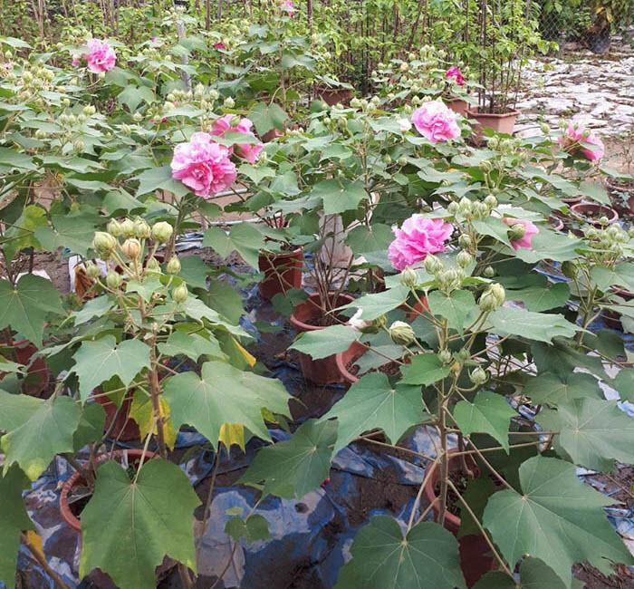 Cây hoa Phù Dung nhỏ