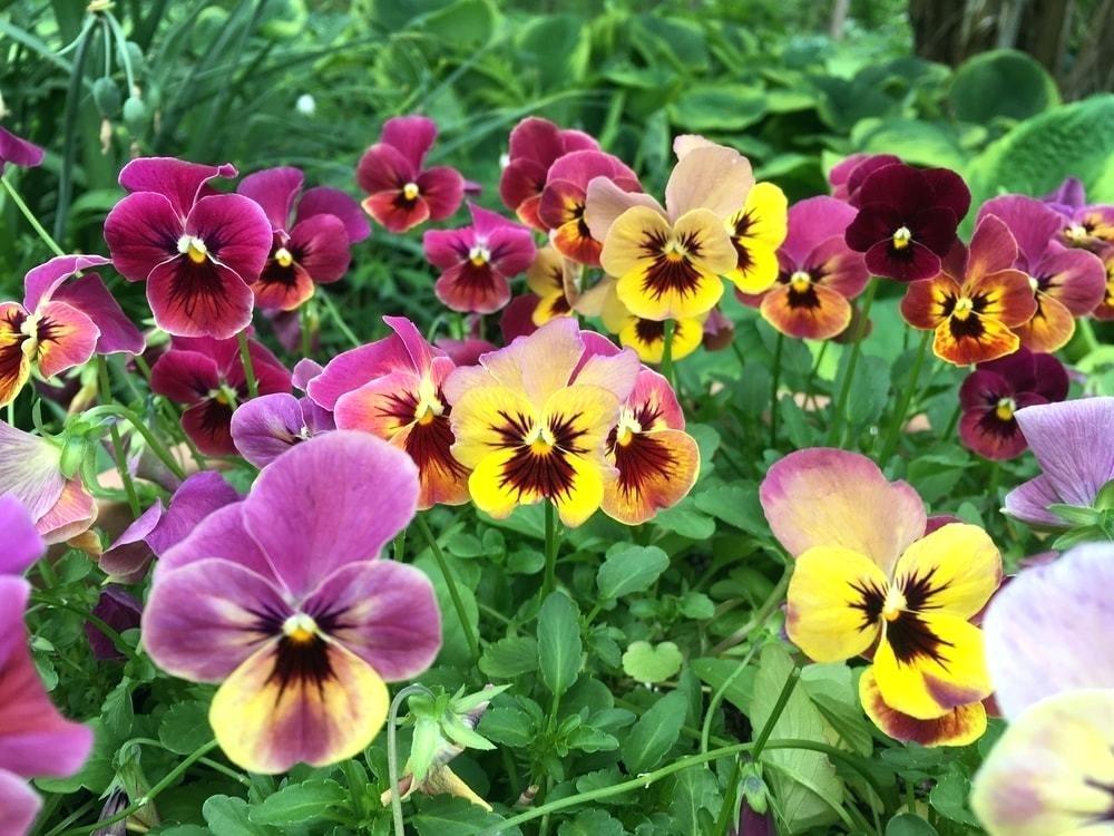 Hình ảnh các loại hoa Phăng xê đẹp