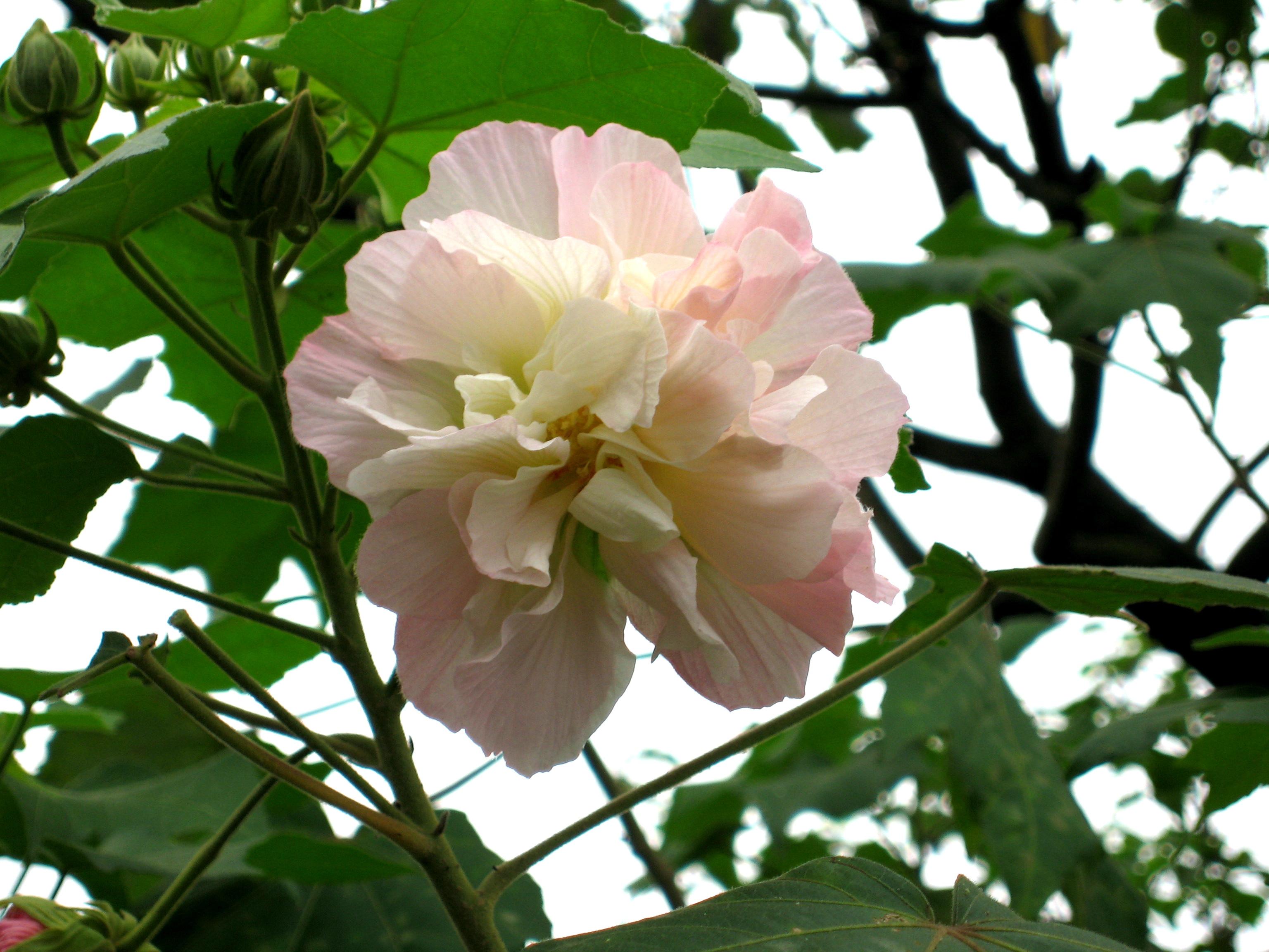 Hình ảnh cành hoa Phù Dung đẹp