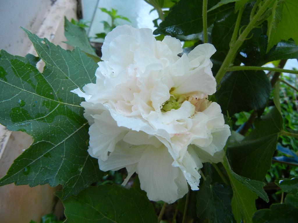 Hình ảnh cây hoa Phù Dung