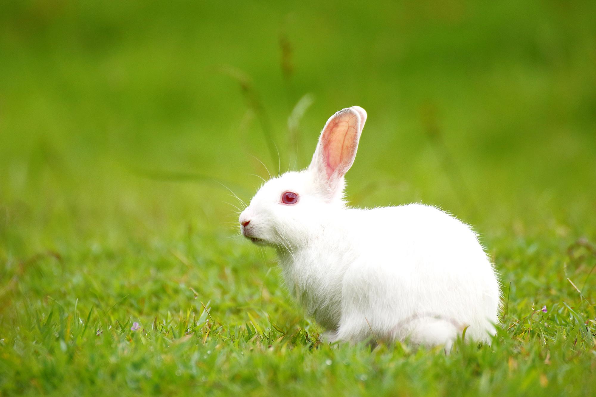 Hình ảnh con Thỏ trắng