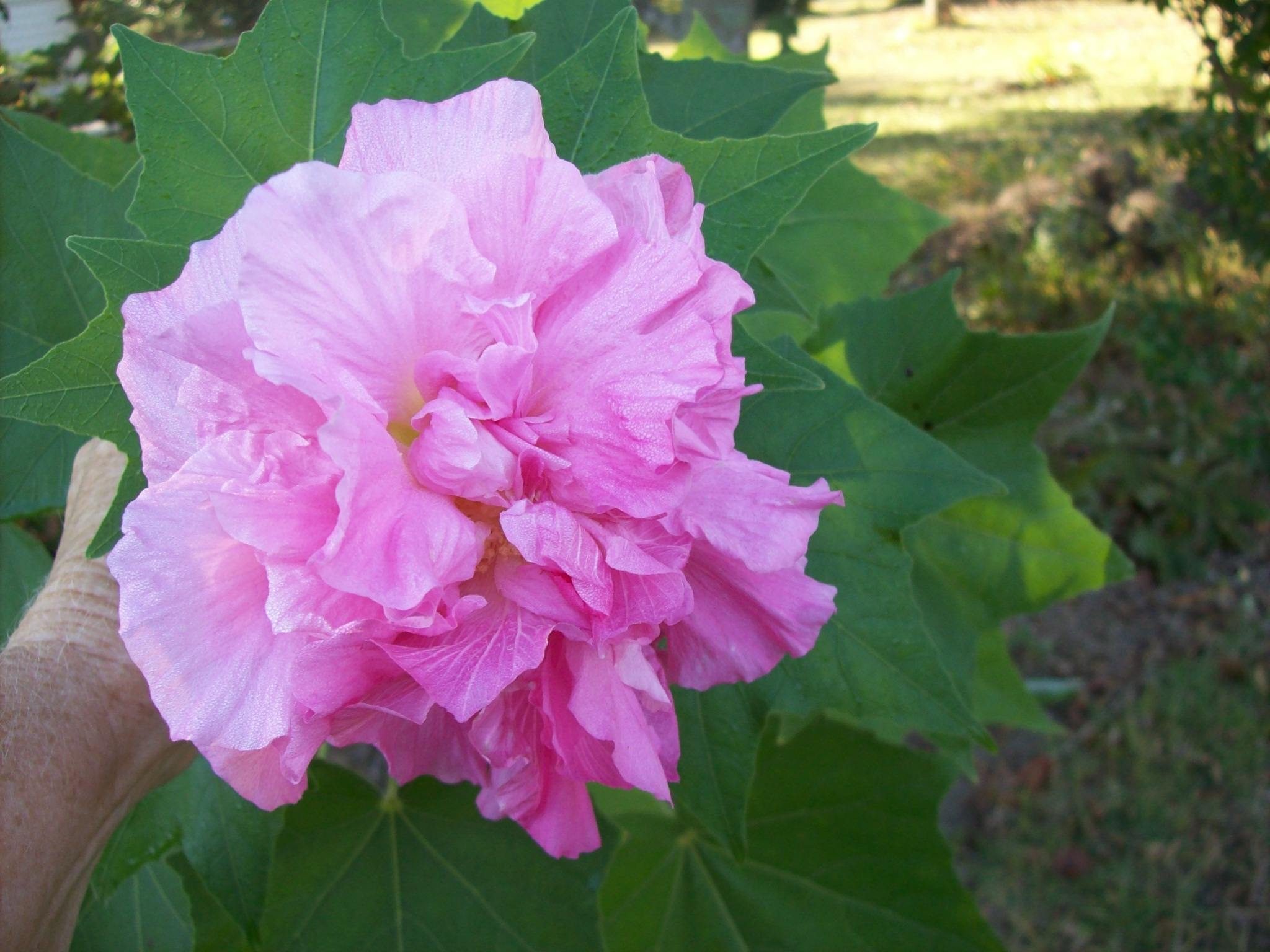 Hình ảnh đóa hoa Phù Dung đẹp (2)