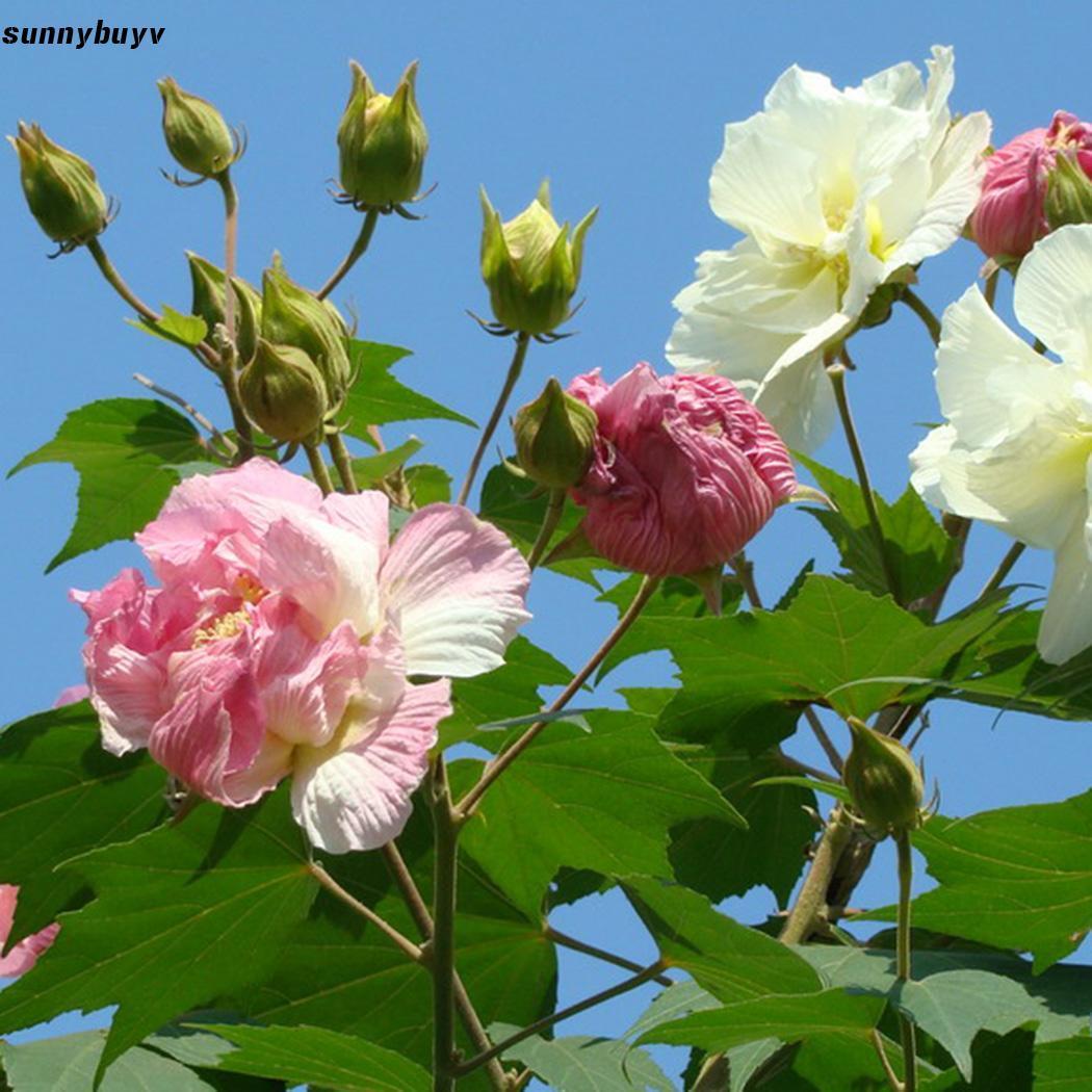 Hình ảnh đóa hoa Phù Dung đẹp