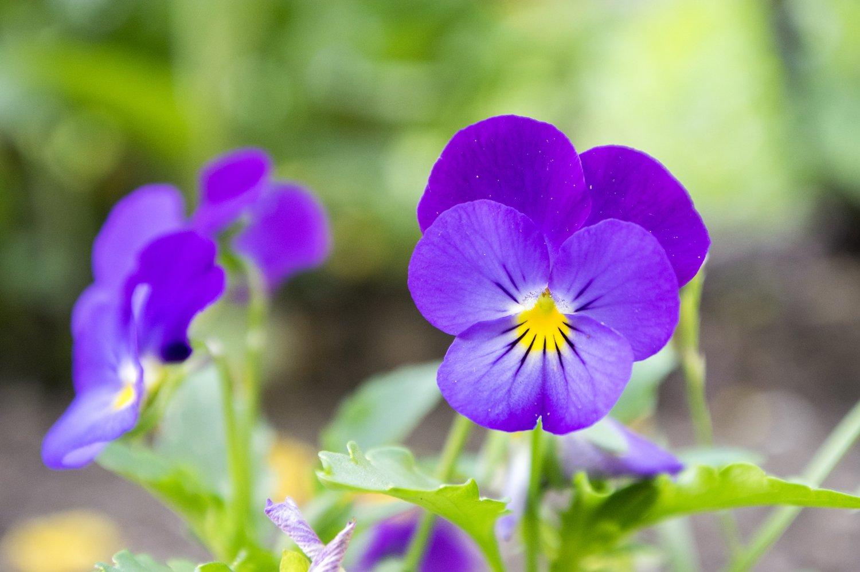 Hình ảnh hoa bướm đẹp