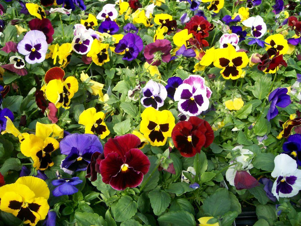 Hình ảnh hoa Păng-xê cực đẹp