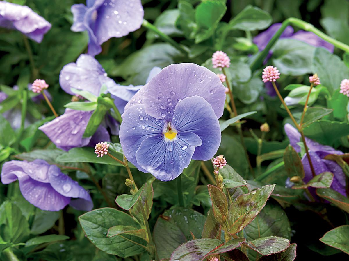Hình ảnh hoa Păng xê