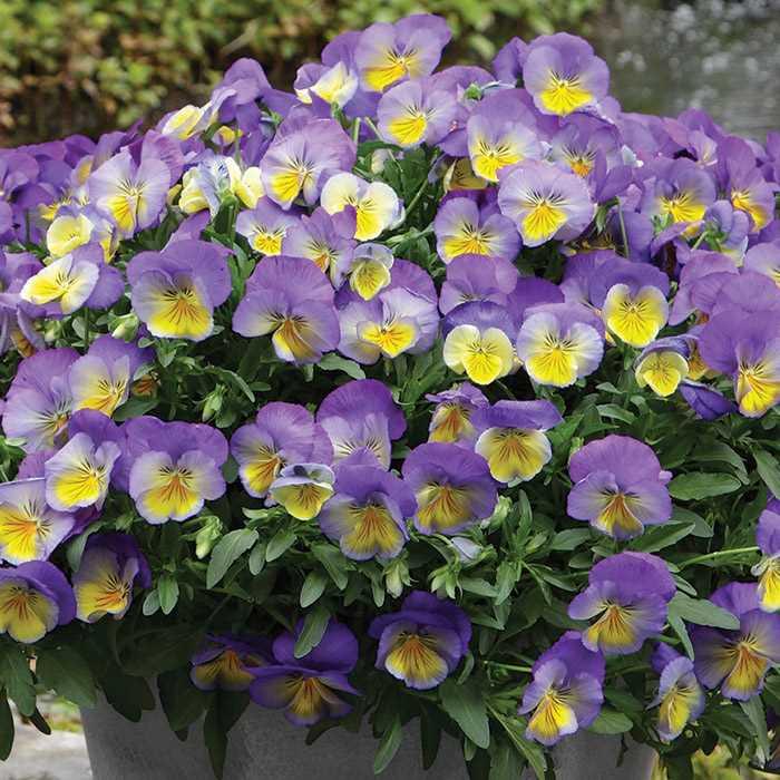 Hình ảnh hoa Păng-xê