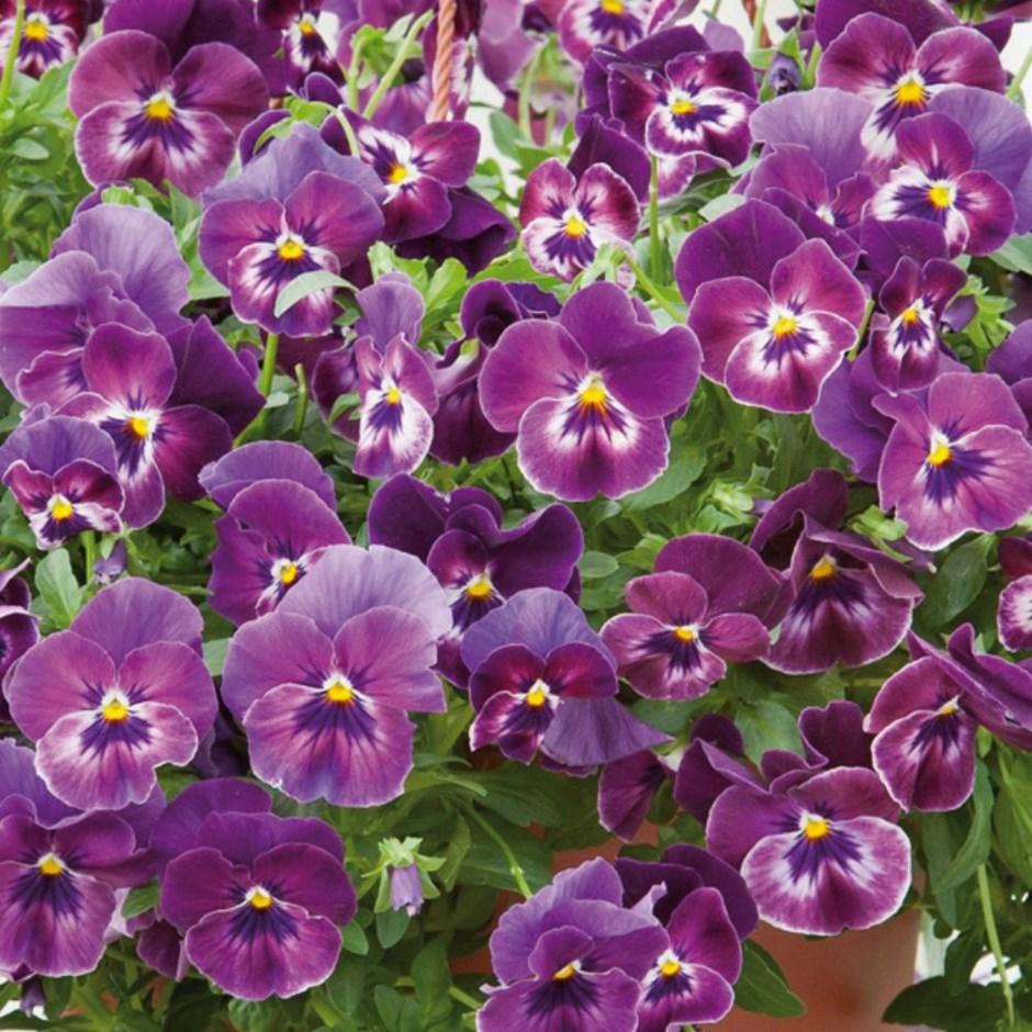 Hình ảnh hoa Pansy đẹp nhất