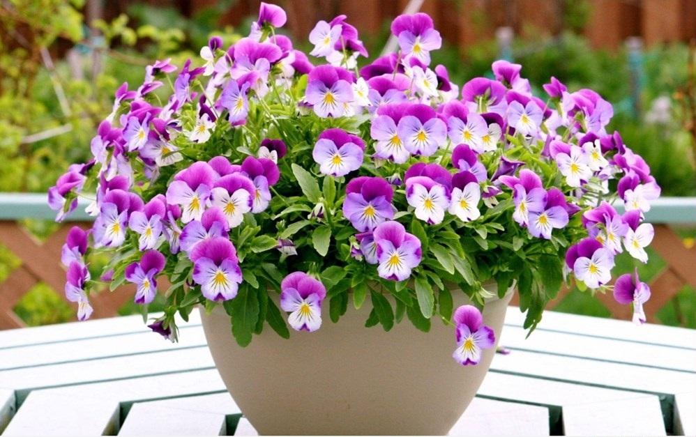 Hình ảnh hoa Pansy đẹp
