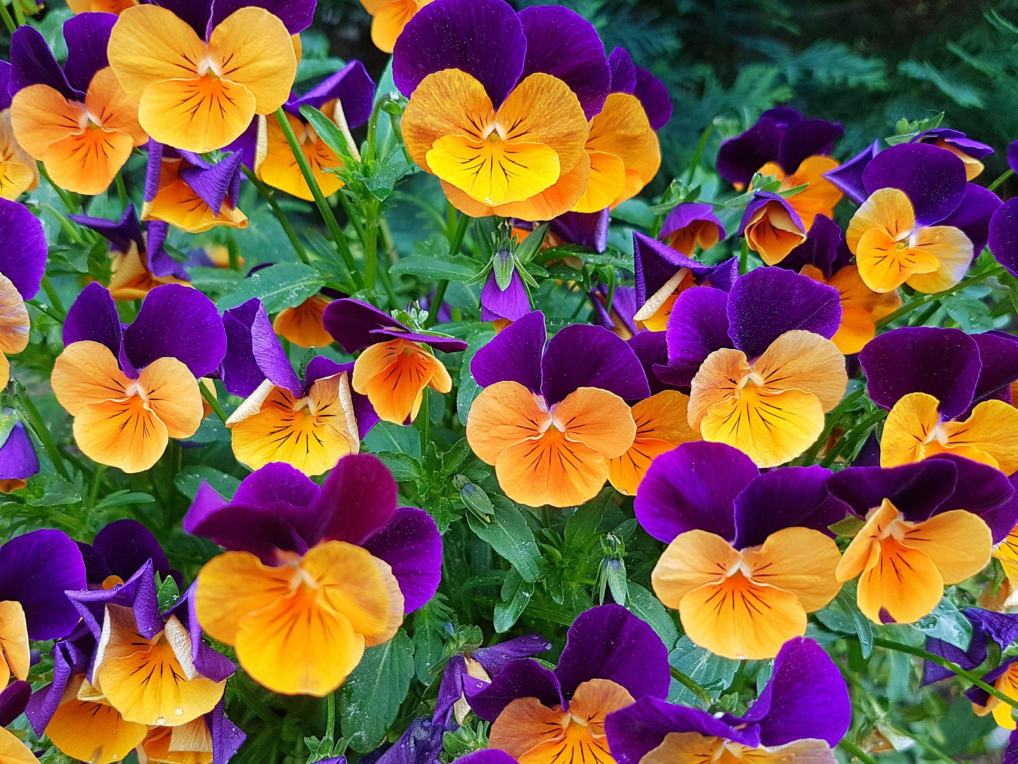 Hình ảnh hoa Pansy