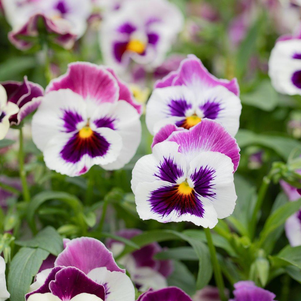 Hình ảnh hoa Phăng đẹp nhất