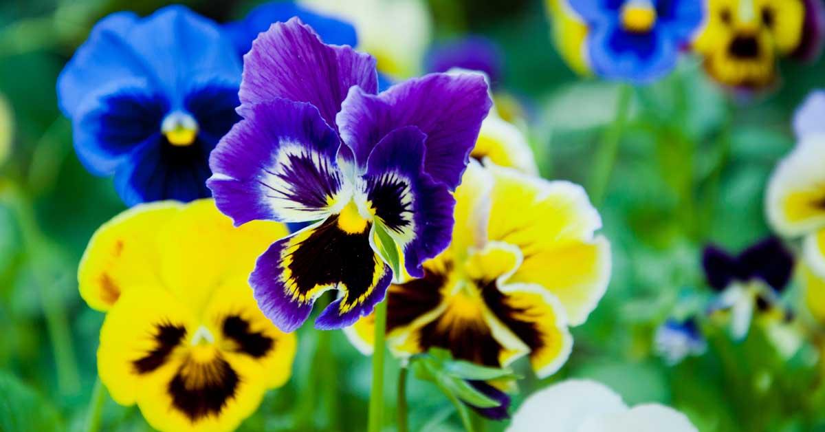 Hình ảnh hoa Phăng đẹp