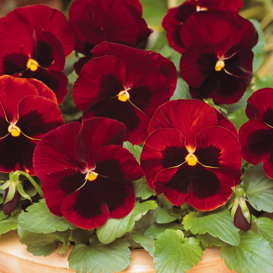 Hình ảnh hoa Phăng đỏ