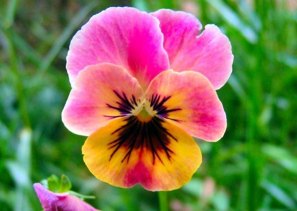 Hình ảnh hoa Phăng hồng đẹp